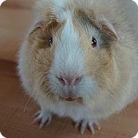 Adopt A Pet :: Henry - Brooklyn Park, MN