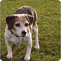 Adopt A Pet :: Chaz - Phoenix, AZ