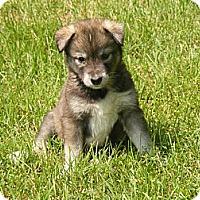 Adopt A Pet :: Sonoma - Rigaud, QC