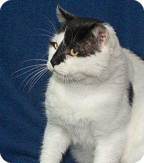 Domestic Shorthair Cat for adoption in Elmwood Park, New Jersey - Jack