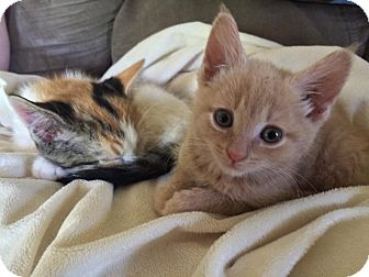 Domestic Shorthair Kitten for adoption in Monterey, Virginia - Elizabeth