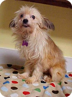 Chinese Crested/Terrier (Unknown Type, Small) Mix Dog for adoption in Dahlgren, Virginia - Elvis - 9 lbs