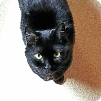 Domestic Shorthair Cat for adoption in Port Jervis, New York - BB