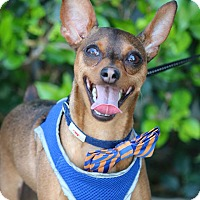 Adopt A Pet :: Raj - South El Monte, CA