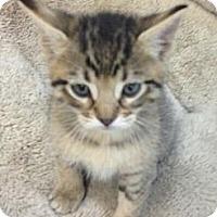 Adopt A Pet :: Simba - Chandler, AZ