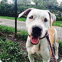 Adopt A Pet :: Buttercup Rose - Davie, FL