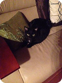 Domestic Shorthair Cat for adoption in St. Louis, Missouri - Betrand