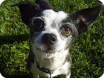 Chihuahua Mix Dog for adoption in San Francisco, California - Chiquita