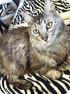 Maine Coon Cat for adoption in Boca Raton, Florida - Grayson