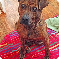 Mountain Cur Mix Dog for adoption in Nashville, Tennessee - Tiger