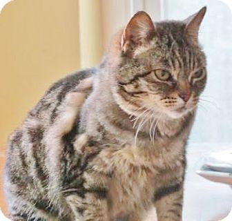 American Shorthair Cat for adoption in Davis, California - Amira