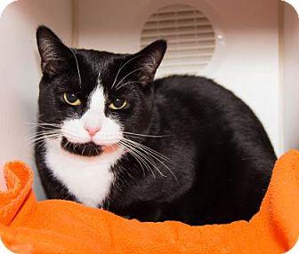 Domestic Shorthair Kitten for adoption in Lowell, Massachusetts - Jax
