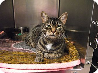 Domestic Shorthair Cat for adoption in Chambersburg, Pennsylvania - Melanie
