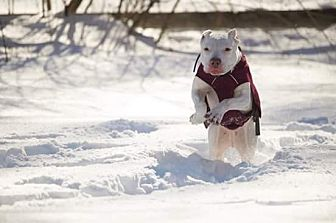 Dogo Argentino Mix Dog for adoption in Acushnet, Massachusetts - Gemma