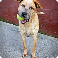 Australian Cattle Dog/Mixed Breed (Medium) Mix Dog for adoption in Marlinton, West Virginia - Jordan