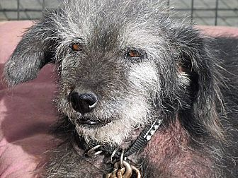 Terrier (Unknown Type, Small)/Shih Tzu Mix Dog for adoption in Germantown, Maryland - Jazzie