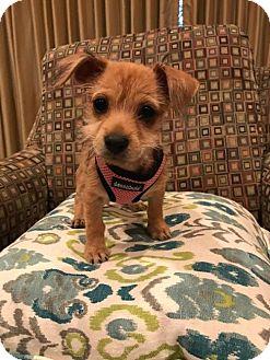 Chihuahua Puppy for adoption in Hockessin, Delaware - Pixie