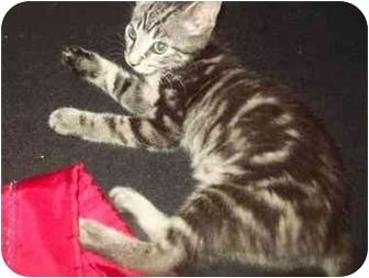 Domestic Shorthair Kitten for adoption in Little Neck, New York - simba