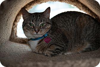 Domestic Shorthair Cat for adoption in Byron Center, Michigan - Dhalia