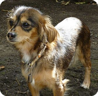 Dachshund/Chihuahua Mix Dog for adoption in San Jose, California - Princess