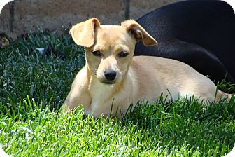 Dachshund/Jack Russell Terrier Mix Puppy for adoption in Tustin, California - Blondie