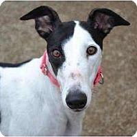 Adopt A Pet :: Lexi (FTK Suplex) - Chagrin Falls, OH