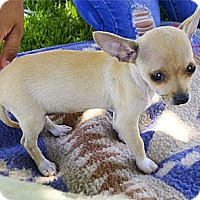 Adopt A Pet :: Tara purebred pocket dog - Sacramento, CA