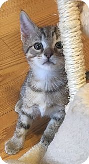 Domestic Shorthair Kitten for adoption in Fort Worth, Texas - Marty