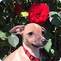 Adopt A Pet :: GRACI - Elk Grove, CA