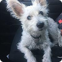Adopt A Pet :: Vinny - Irvine, CA