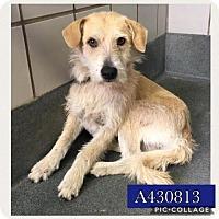 Adopt A Pet :: A430813 - San Antonio, TX