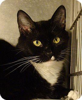 Domestic Shorthair Cat for adoption in El Cajon, California - Maddie