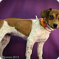 Adopt A Pet :: Rose - Broomfield, CO