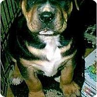 Adopt A Pet :: RAMBO - dewey, AZ