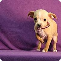 Adopt A Pet :: Brut - Broomfield, CO