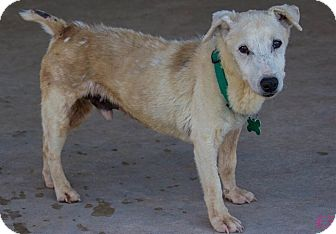 Jack Russell Terrier Dog for adoption in San Antonio, Texas - Frank in Seguin, TX