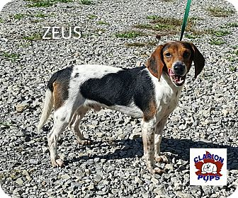 Beagle Dog for adoption in Strattanville, Pennsylvania - ZEUS