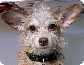 Chihuahua/Poodle (Miniature) Mix Dog for adoption in Independence, Missouri - Cinda
