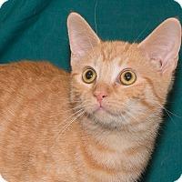 Adopt A Pet :: Chedder - Elmwood Park, NJ