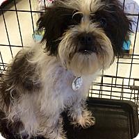 Adopt A Pet :: Pepper in CT - Manchester, CT