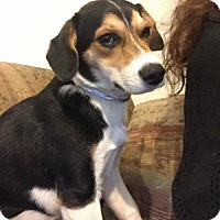 Adopt A Pet :: Clara - Dana Point, CA