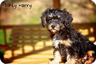 Miniature Schnauzer/Shih Tzu Mix Puppy for adoption in Albany, New York - Dirty Harry
