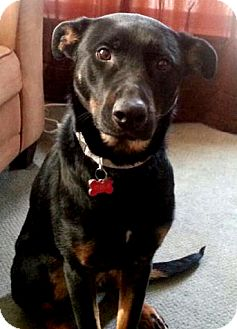 Shepherd (Unknown Type) Mix Puppy for adoption in Detroit, Michigan - Viola-Adopted!