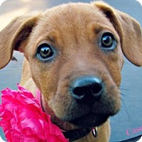 Adopt A Pet :: casey - Justin, TX