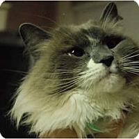 Adopt A Pet :: Chickolet - Lunenburg, MA