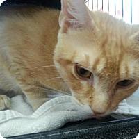 Adopt A Pet :: Pumpkin - Hamilton, ON