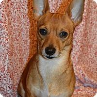 Adopt A Pet :: Little Man - Westport, CT