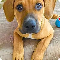 Adopt A Pet :: Archie - Scottsdale, AZ