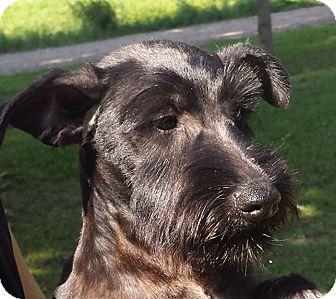 Scottie, Scottish Terrier Mix Puppy for adoption in Preston, Connecticut - Iggy AD 12-10-16