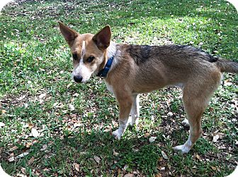 Collie/Brittany Mix Puppy for adoption in Boerne, Texas - Willow